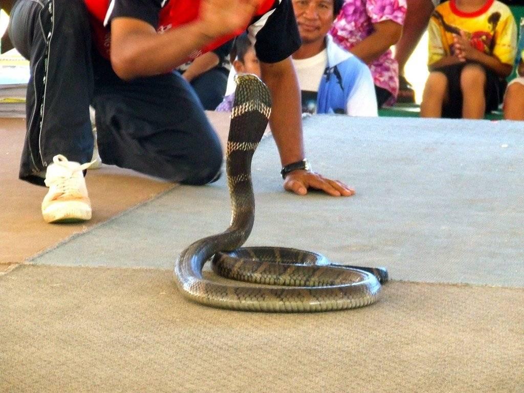 Змеиная ферма в паттайе: развлечение или лечение? | nice places