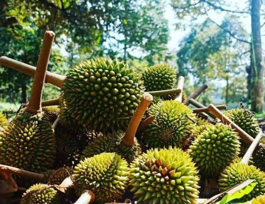 Дуриан - экзотический фрукт, фото, запах, вкус, польза, отзывы | путеводитель по пхукету