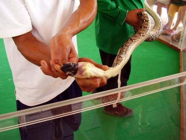 Змеиная ферма на пхукете - шоу, продукция, описание, фото, как добраться | путеводитель по пхукету